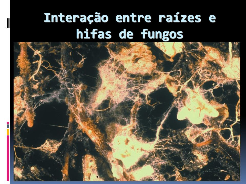 Interação entre raízes e hifas de fungos