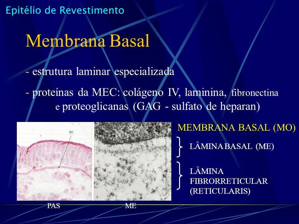 Membrana Basal - estrutura laminar especializada