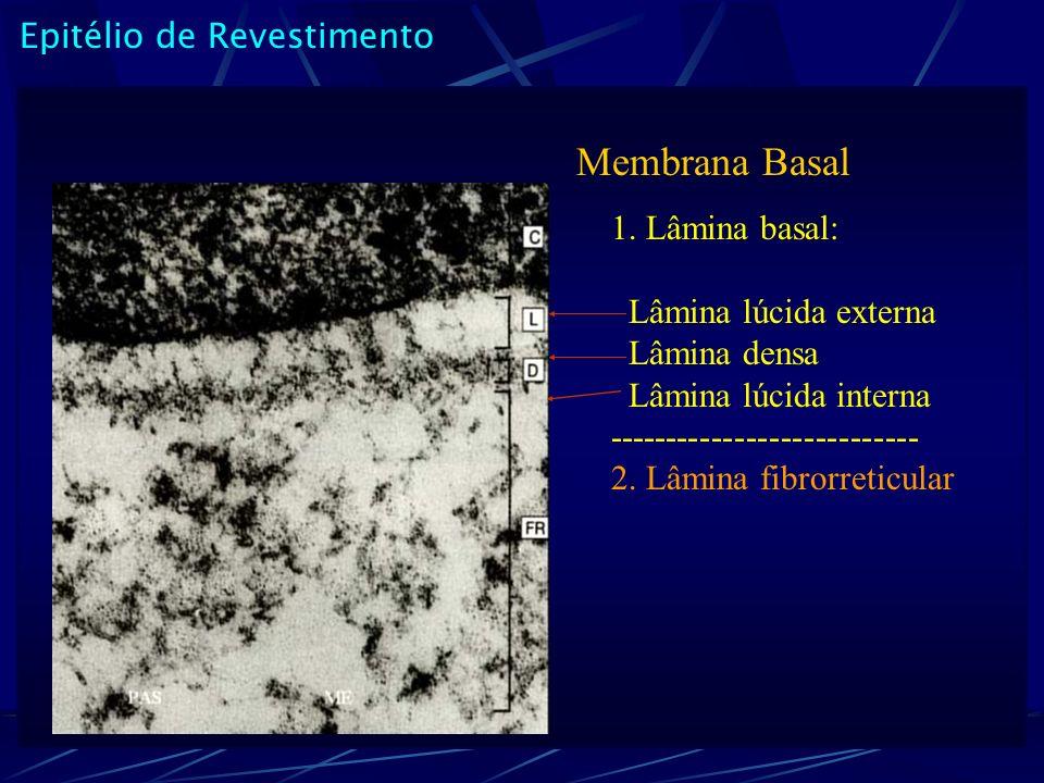 Membrana Basal Epitélio de Revestimento 1. Lâmina basal: