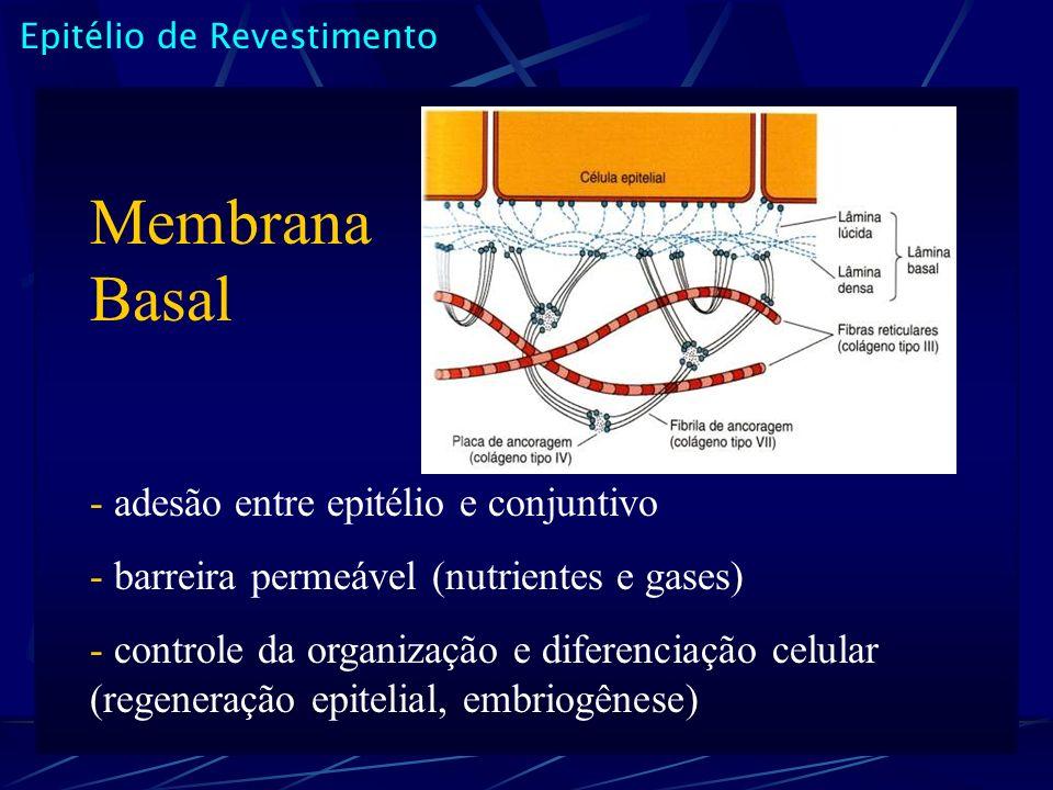 Membrana Basal - adesão entre epitélio e conjuntivo