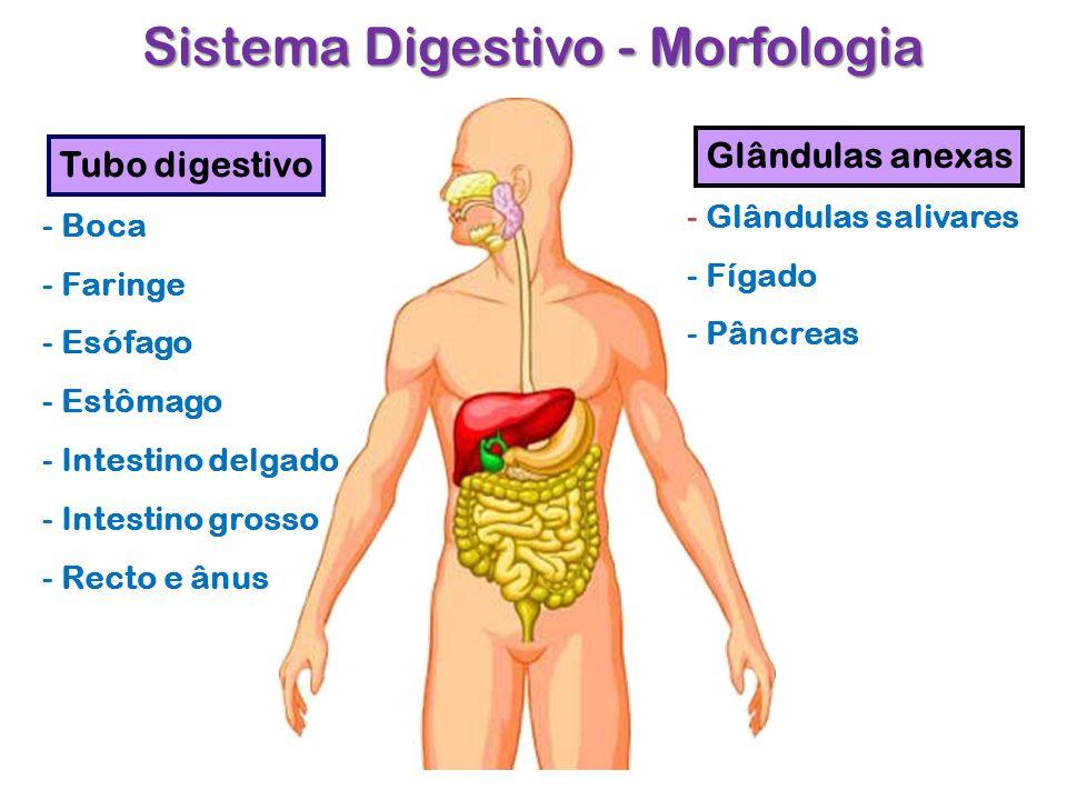 Sistema Digestivo - Morfologia