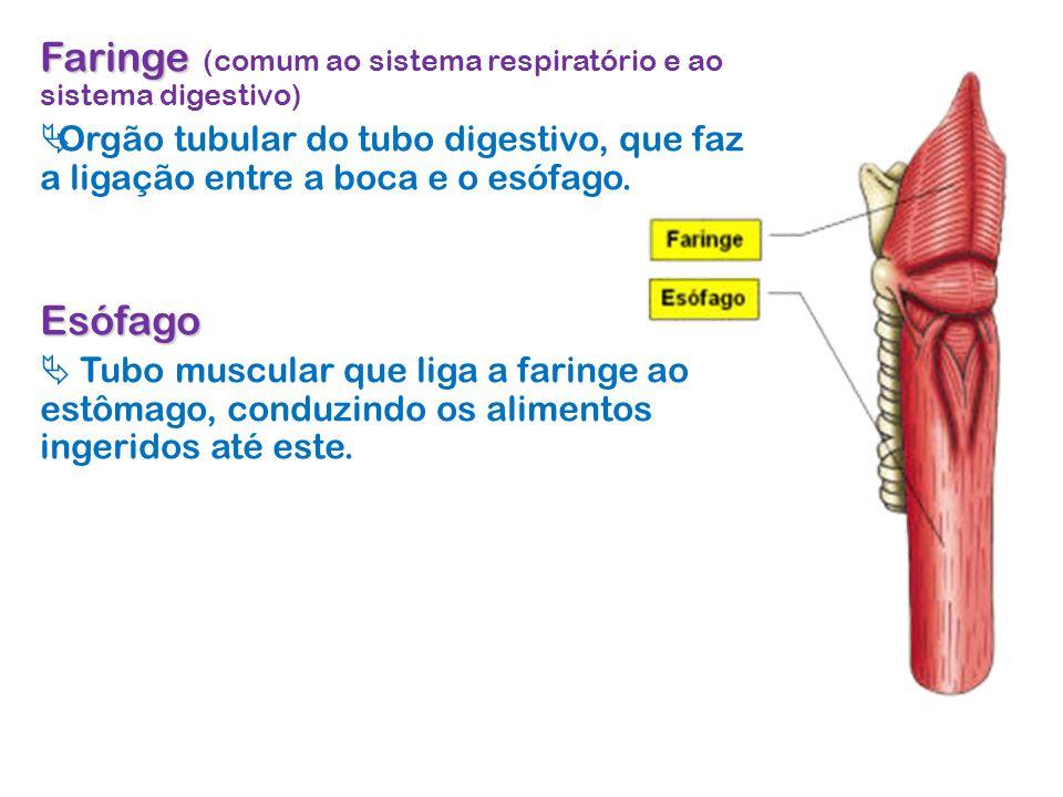 Faringe (comum ao sistema respiratório e ao sistema digestivo)