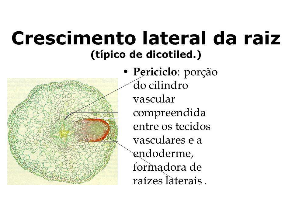 Crescimento lateral da raiz (típico de dicotiled.)
