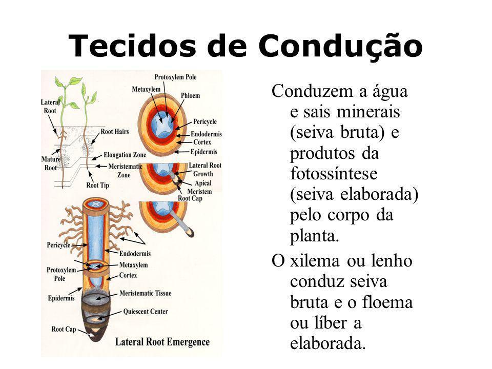 Tecidos de Condução Conduzem a água e sais minerais (seiva bruta) e produtos da fotossíntese (seiva elaborada) pelo corpo da planta.
