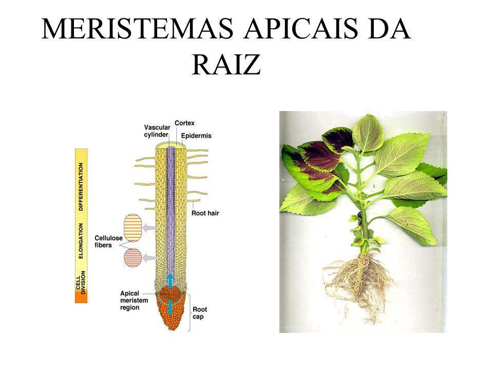 MERISTEMAS APICAIS DA RAIZ