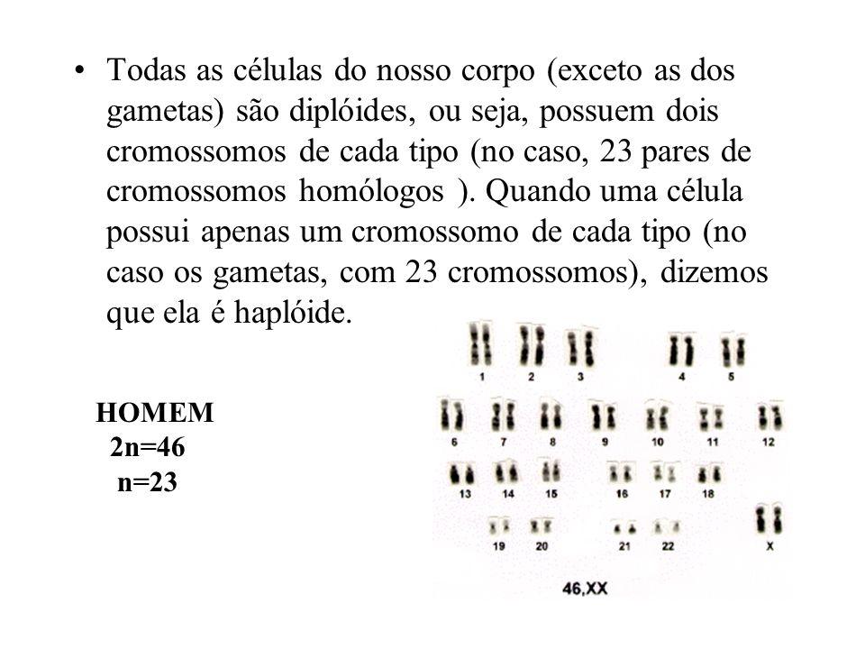 Todas as células do nosso corpo (exceto as dos gametas) são diplóides, ou seja, possuem dois cromossomos de cada tipo (no caso, 23 pares de cromossomos homólogos ). Quando uma célula possui apenas um cromossomo de cada tipo (no caso os gametas, com 23 cromossomos), dizemos que ela é haplóide.