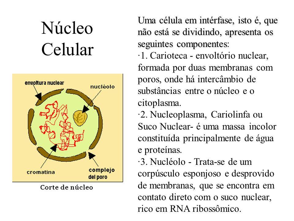 Uma célula em intérfase, isto é, que não está se dividindo, apresenta os seguintes componentes: ·1. Carioteca - envoltório nuclear, formada por duas membranas com poros, onde há intercâmbio de substâncias entre o núcleo e o citoplasma.