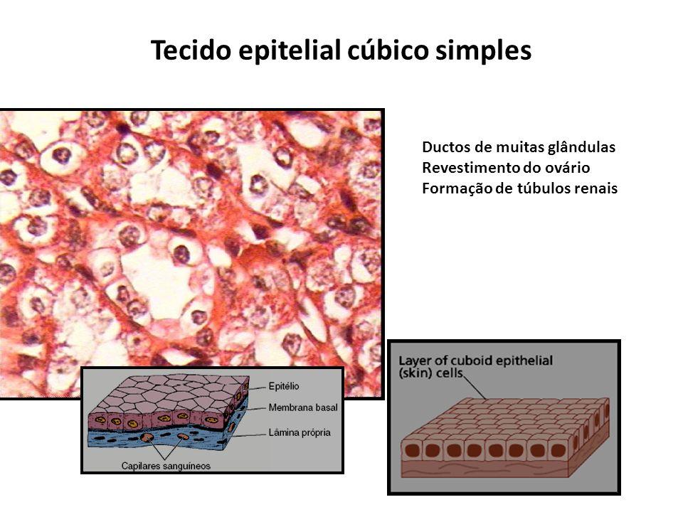 Tecido epitelial cúbico simples
