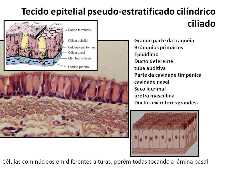 Tecido epitelial pseudo-estratificado cilíndrico ciliado