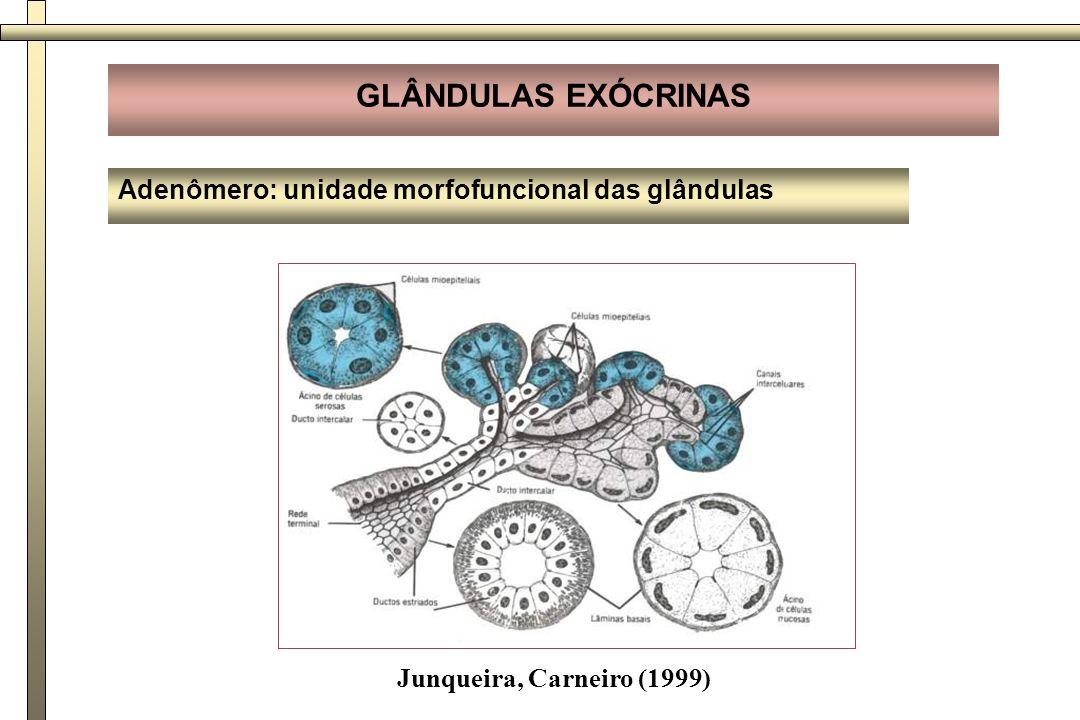 GLÂNDULAS EXÓCRINAS Adenômero: unidade morfofuncional das glândulas