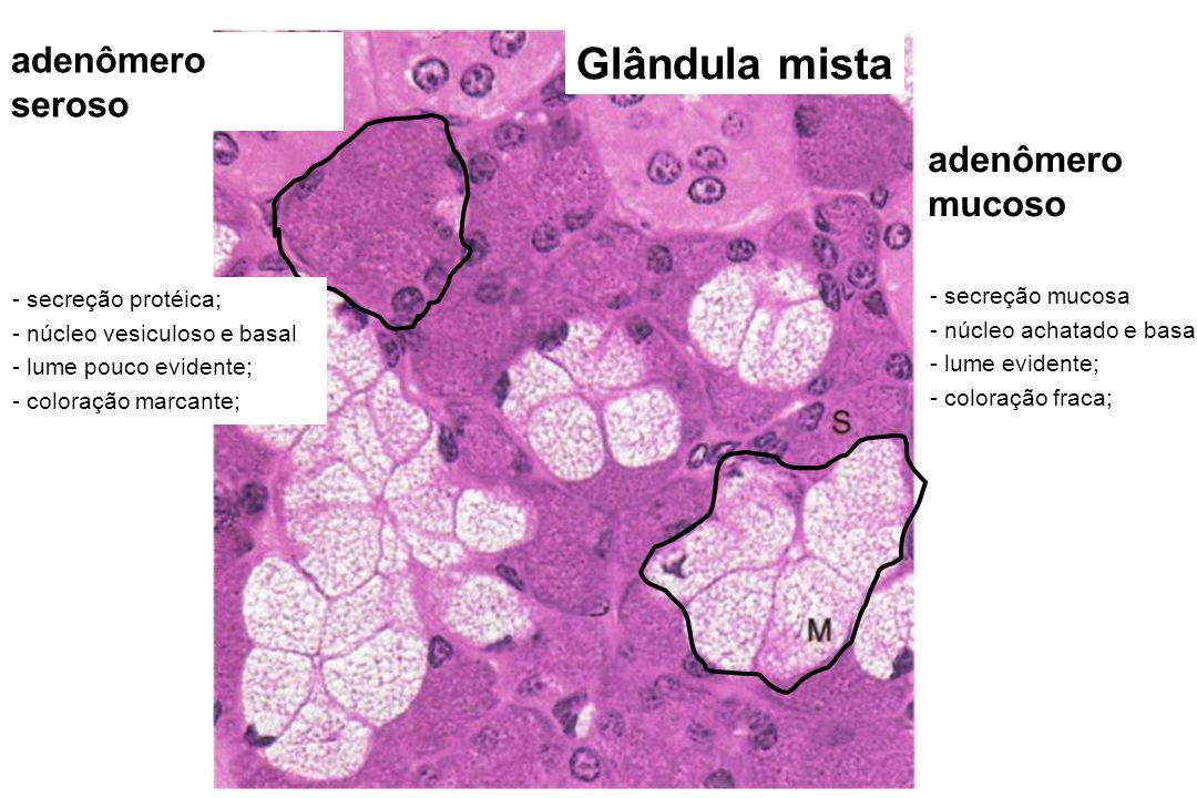 Glândula mista adenômero seroso adenômero mucoso - secreção protéica;