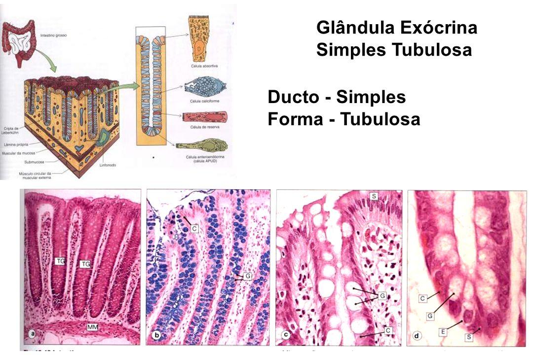 Glândula Exócrina Simples Tubulosa Ducto - Simples Forma - Tubulosa