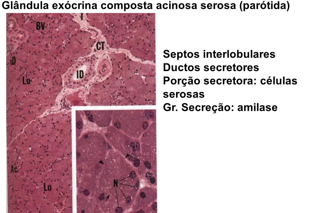 Glândula exócrina composta acinosa serosa (parótida)