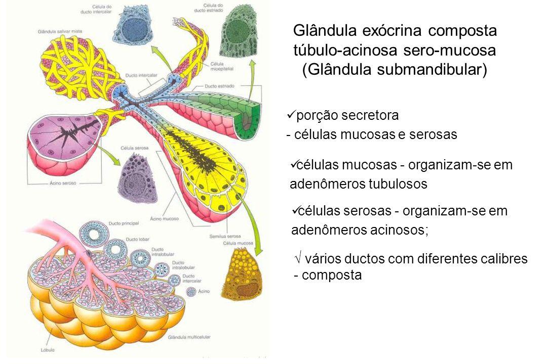 Glândula exócrina composta túbulo-acinosa sero-mucosa (Glândula submandibular)