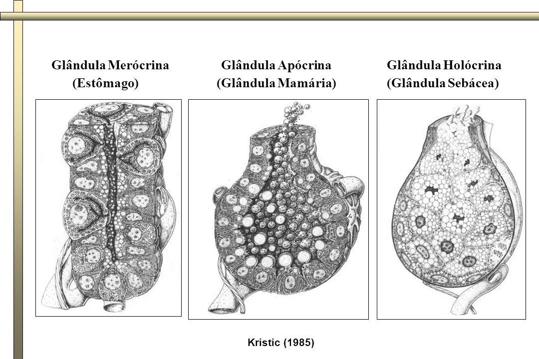 Glândula Merócrina (Estômago) Glândula Apócrina (Glândula Mamária)