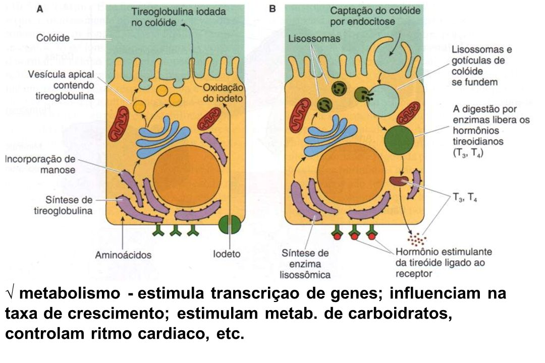 √ metabolismo - estimula transcriçao de genes; influenciam na taxa de crescimento; estimulam metab.