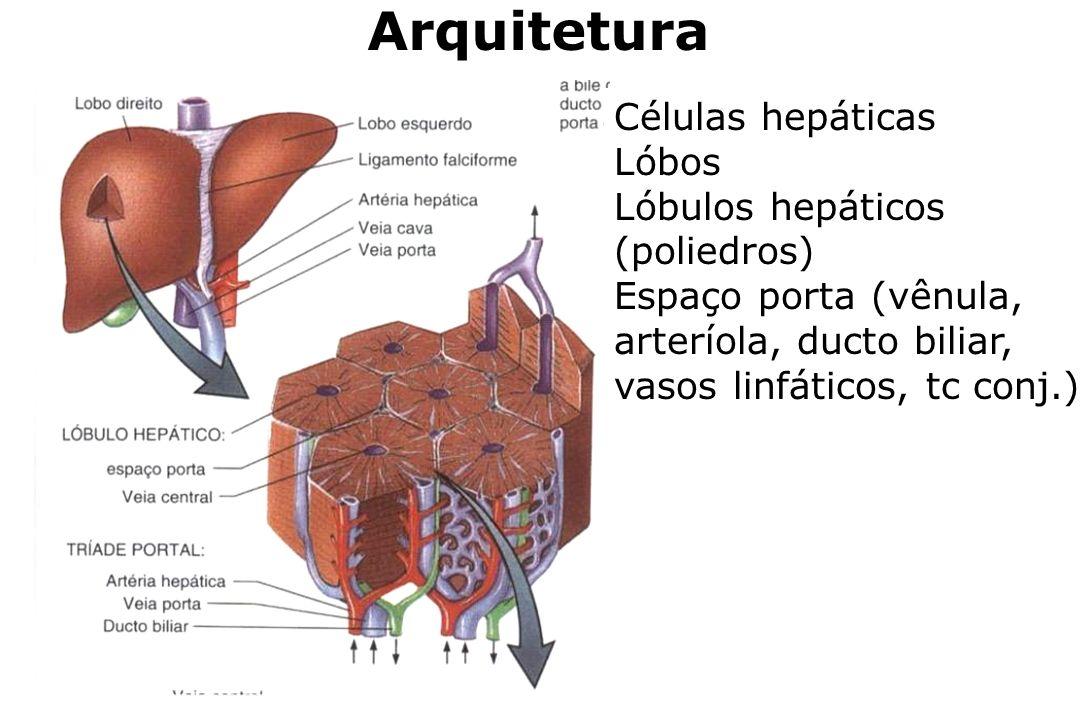 Arquitetura Células hepáticas Lóbos Lóbulos hepáticos (poliedros)