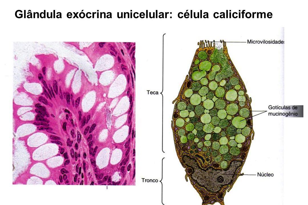 Glândula exócrina unicelular: célula caliciforme