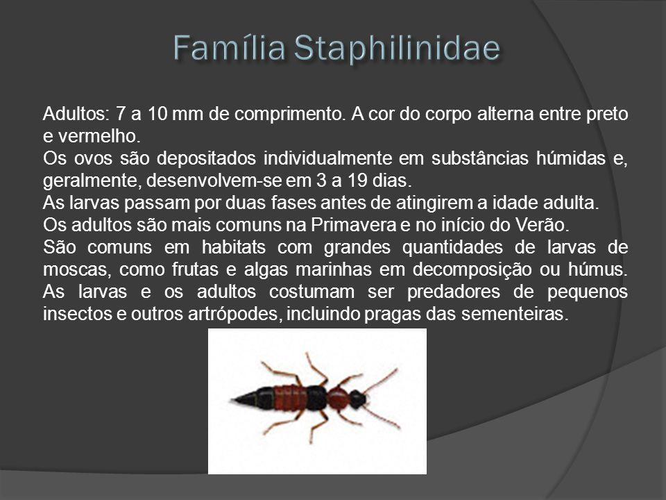 Família Staphilinidae