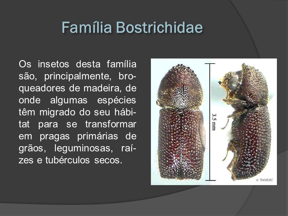 Família Bostrichidae