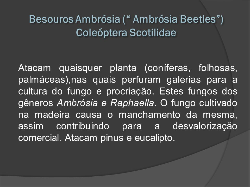 Besouros Ambrósia ( Ambrósia Beetles ) Coleóptera Scotilidae