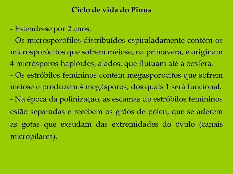 Ciclo de vida do Pinus- Estende-se por 2 anos.