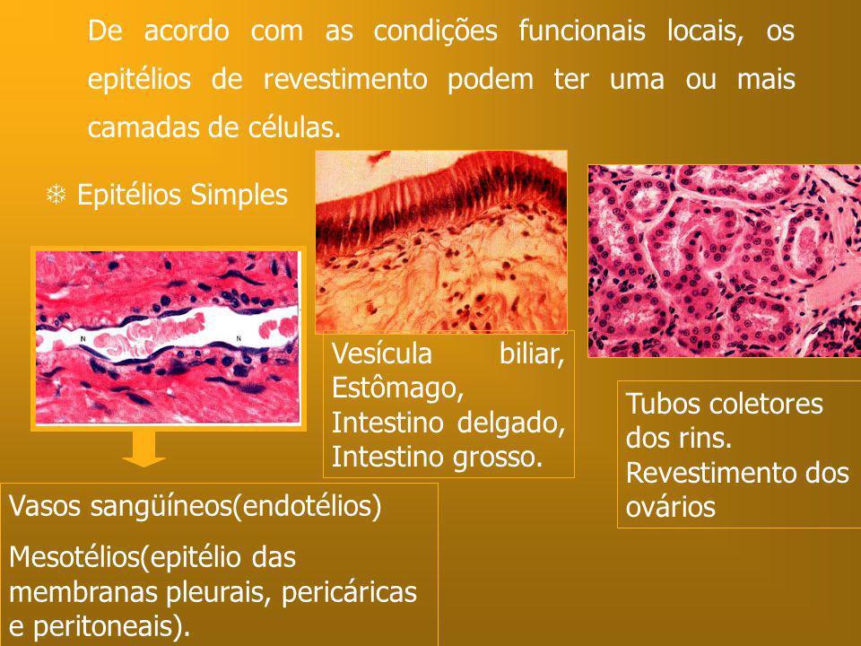 De acordo com as condições funcionais locais, os epitélios de revestimento podem ter uma ou mais camadas de células.