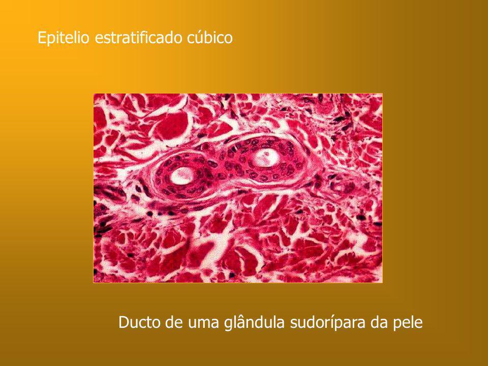 Ducto de uma glândula sudorípara da pele