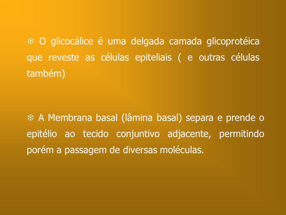  O glicocálice é uma delgada camada glicoprotéica que reveste as células epiteliais ( e outras células também)