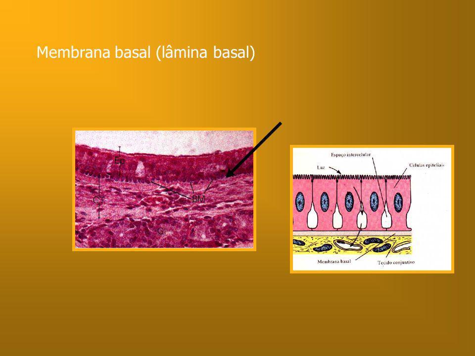 Membrana basal (lâmina basal)