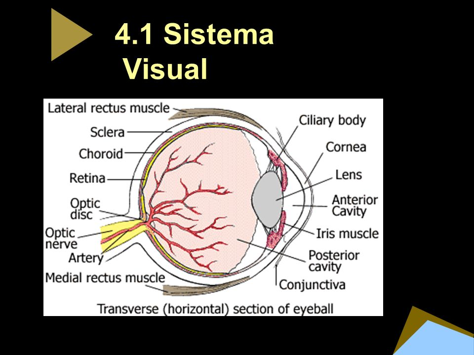 4.1 Sistema Visual