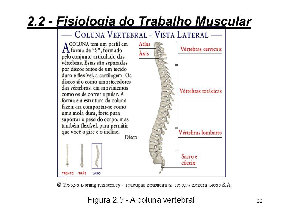 Figura 2.5 - A coluna vertebral