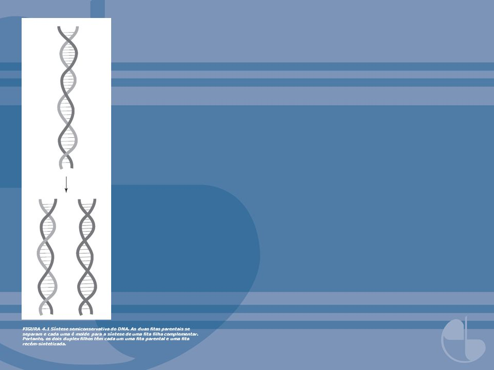 FIGURA 4. 1 Síntese semiconservativa do DNA