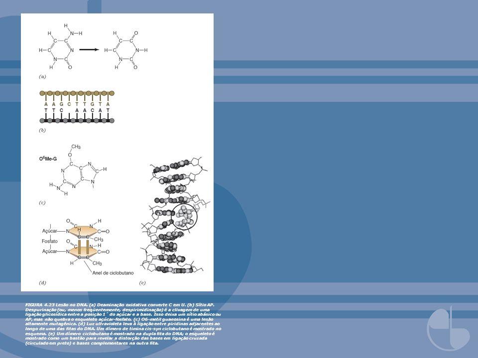 FIGURA 4. 23 Lesão no DNA. (a) Deaminação oxidativa converte C em U