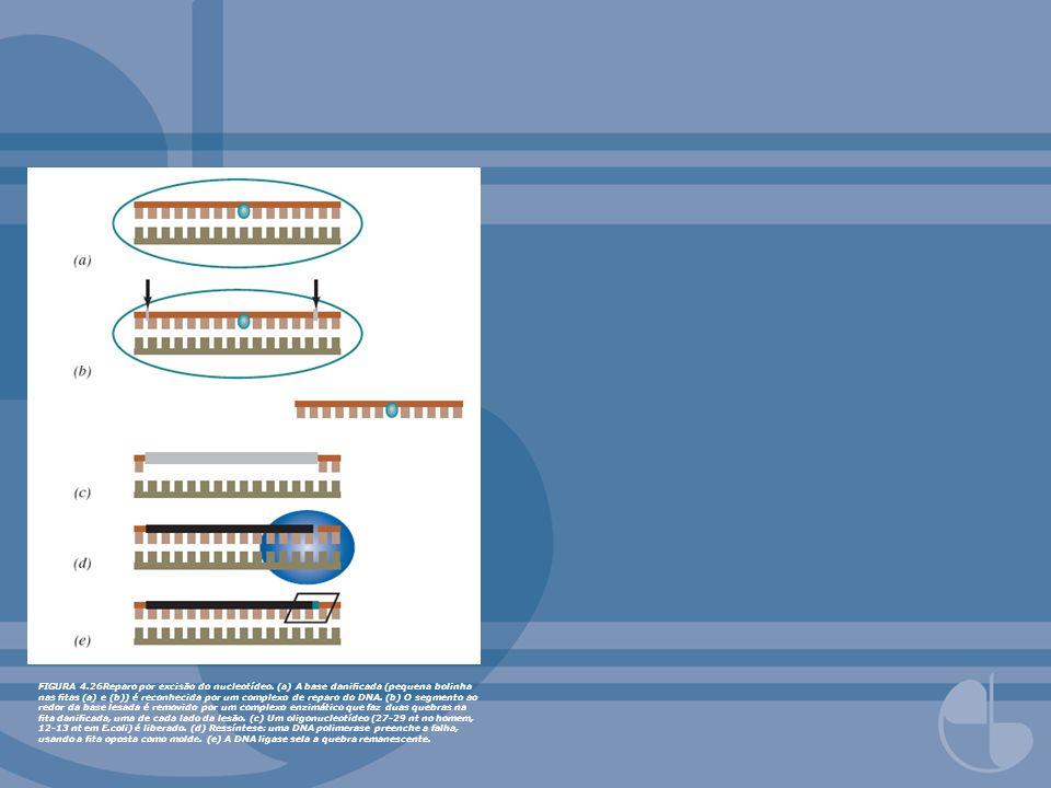 FIGURA 4. 26Reparo por excisão do nucleotídeo