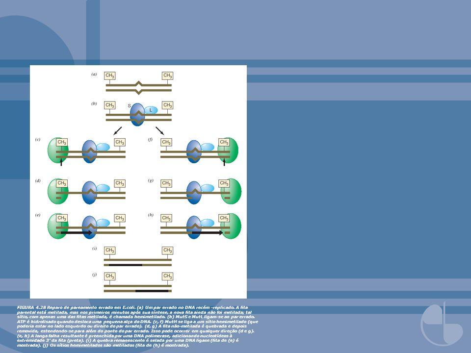 FIGURA 4. 28 Reparo de pareamento errado em E. coli