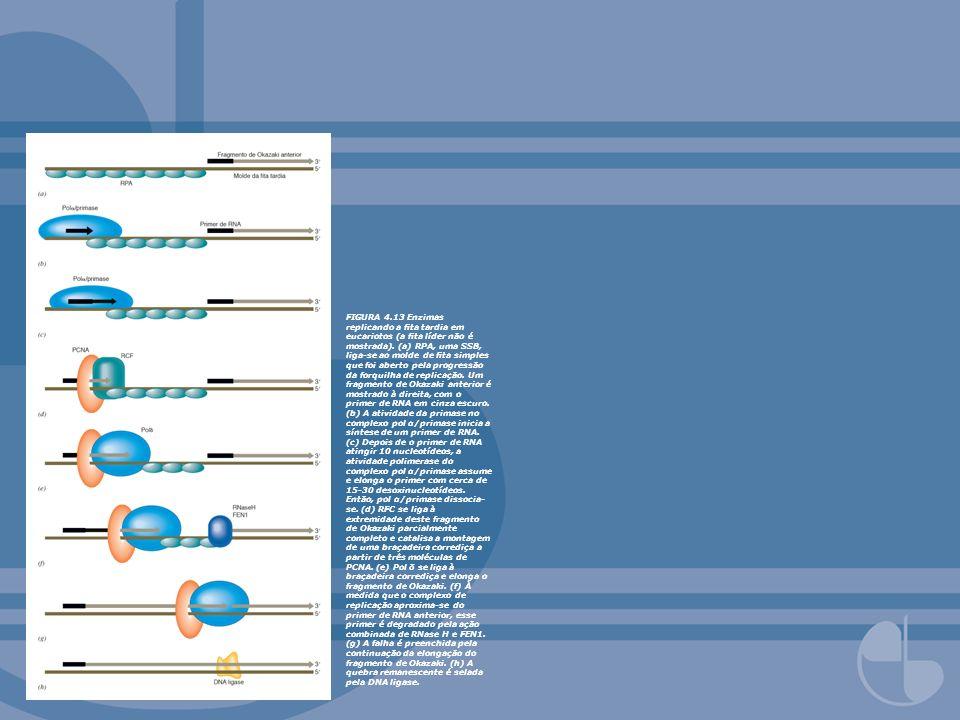 FIGURA 4.13 Enzimas replicando a fita tardia em eucariotos (a fita líder não é mostrada).