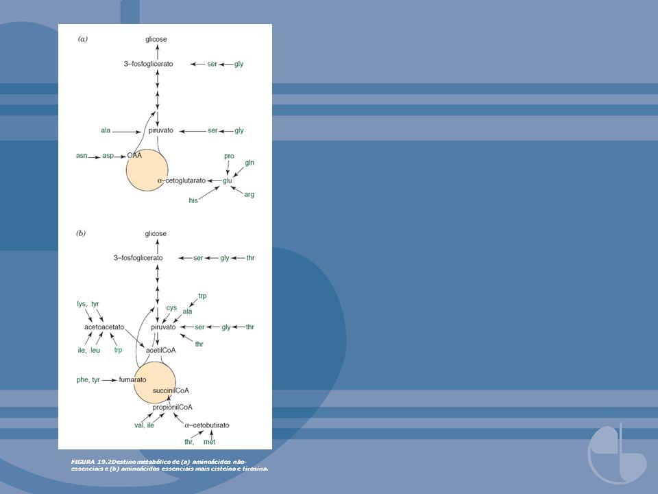 FIGURA 19.2Destino metabólico de (a) aminoácidos não-essenciais e (b) aminoácidos essenciais mais cisteína e tirosina.