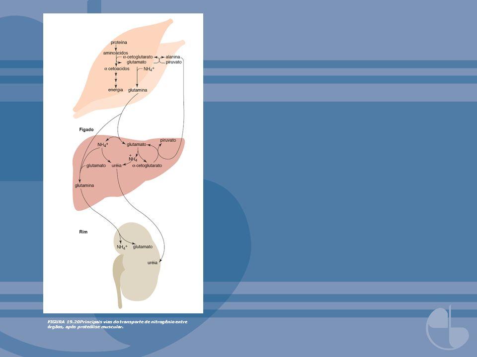 FIGURA 19.20Principais vias do transporte de nitrogênio entre órgãos, após proteólise muscular.