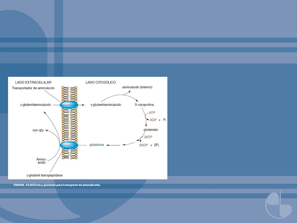 FIGURA 19.83Ciclo γ-glutamil para transporte de aminoácidos.