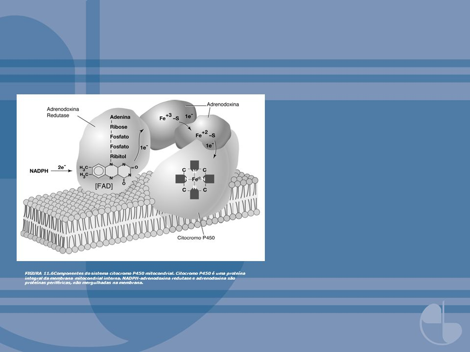 FIGURA 11. 6Componentes do sistema citocromo P450 mitocondrial