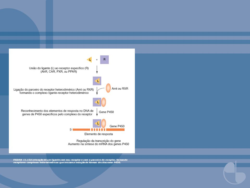 FIGURA 11.15A interação de um ligante com seu receptor e com o parceiro do receptor, formando receptores complexos heterodiméricos que iniciam a indução de formas de citocromo P450.