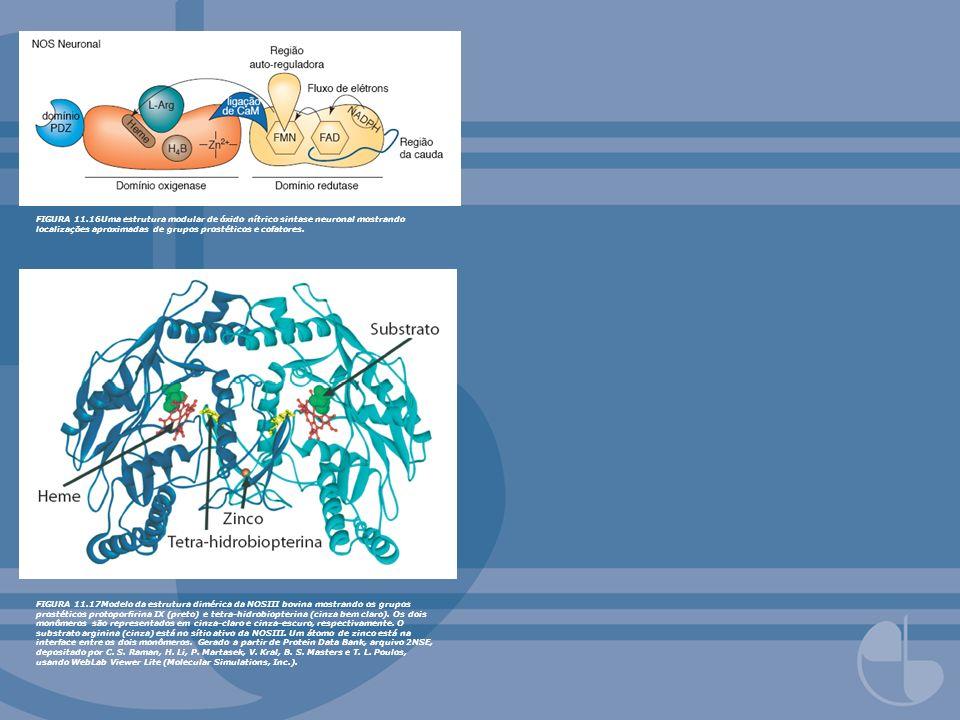 FIGURA 11.16Uma estrutura modular de óxido nítrico sintase neuronal mostrando localizações aproximadas de grupos prostéticos e cofatores.