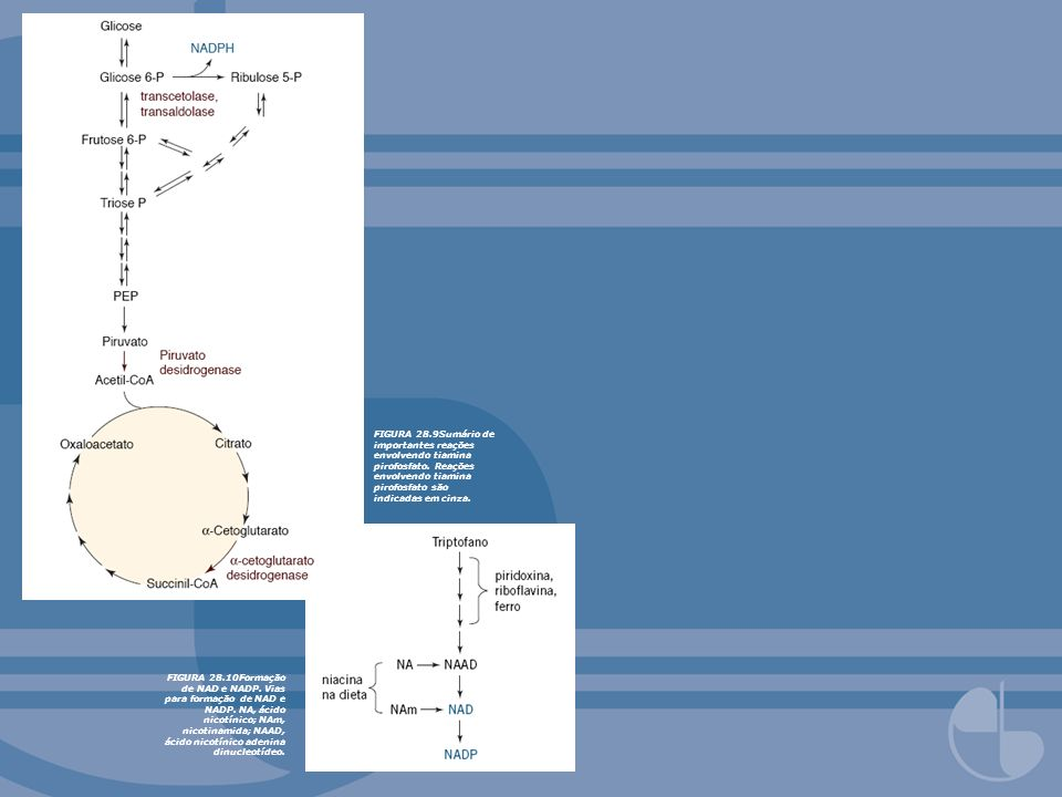FIGURA 28.9Sumário de importantes reações envolvendo tiamina pirofosfato. Reações envolvendo tiamina pirofosfato são indicadas em cinza.