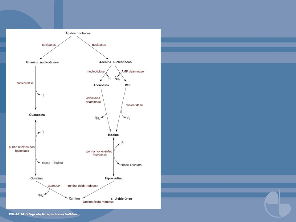 FIGURA 20.11Degradação de purina nucleotídeos.