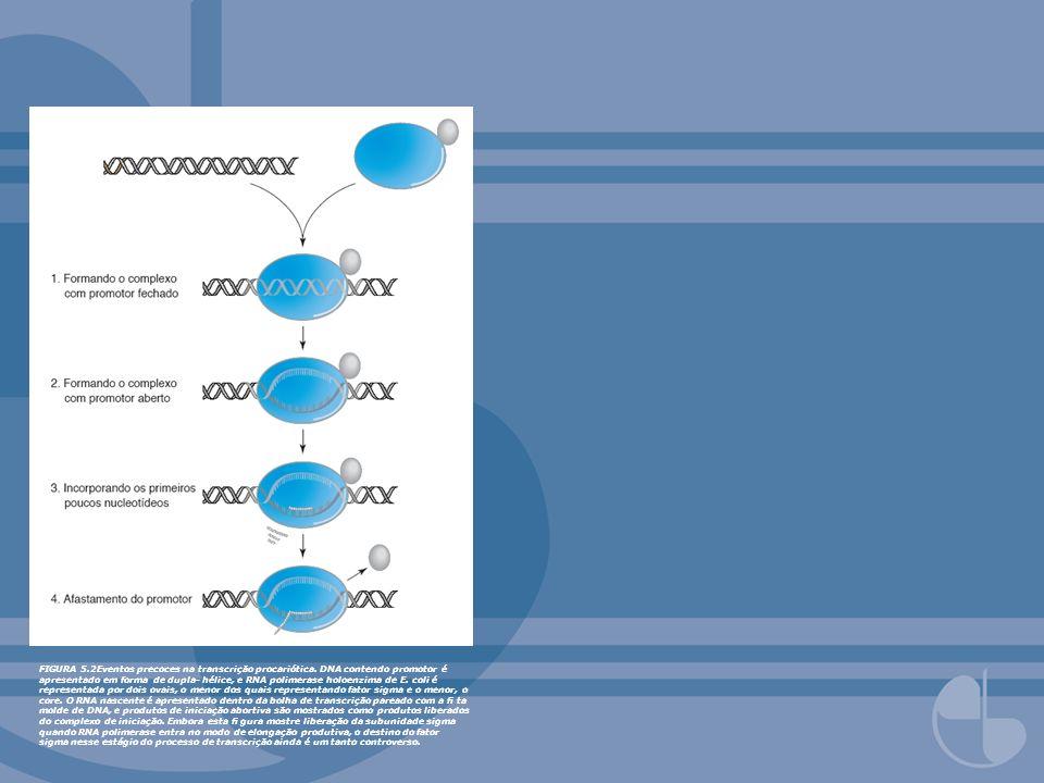 FIGURA 5. 2Eventos precoces na transcrição procariótica