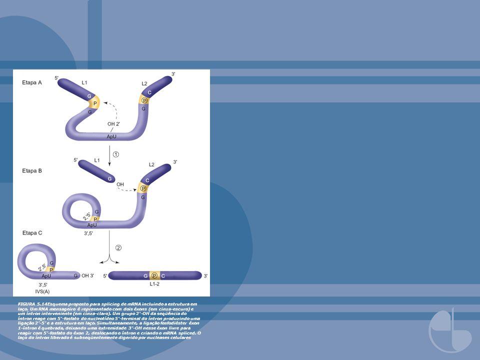 FIGURA 5.14Esquema proposto para splicing de mRNA incluindo a estrutura em laço.