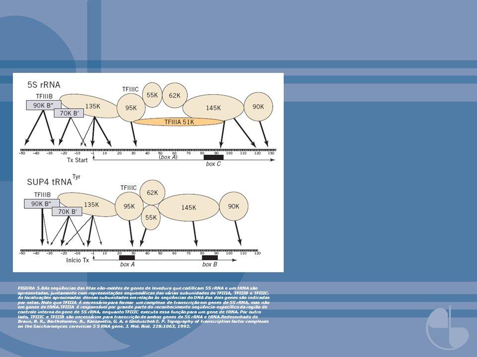FIGURA 5.8As seqüências das fitas não-moldes de genes de levedura que codificam 5S rRNA e um tRNA são apresentadas, juntamente com representações esquemáticas das várias subunidades de TFIIIA, TFIIIB e TFIIIC.