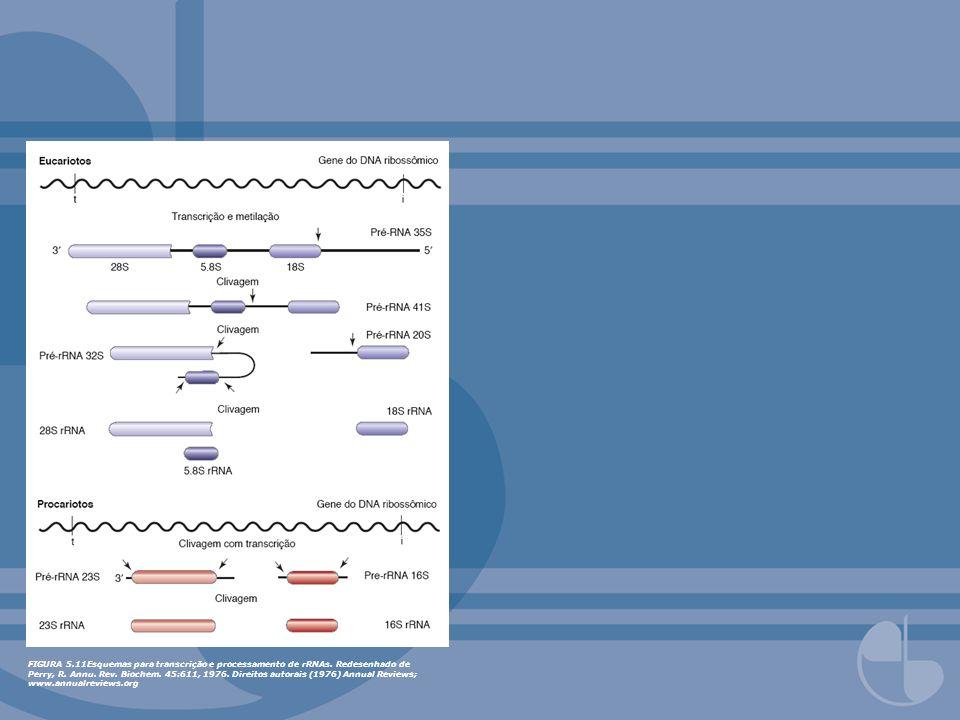 FIGURA 5. 11Esquemas para transcrição e processamento de rRNAs