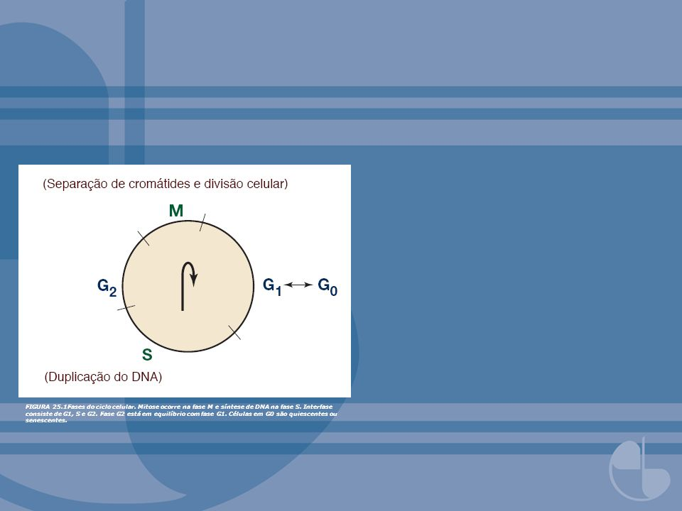 FIGURA 25. 1Fases do ciclo celular